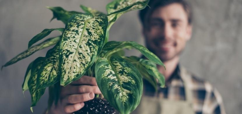 Difenbachie: Oblíbená pokojová rostlina, která do 15 minut zabije zvíře i člověka