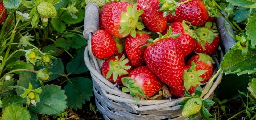 Známe nejlepší přírodní hnojivo na jahody: Vsaďte na kopřivy, chemie proti nim nemá šanci